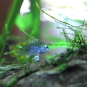 Flossenheld-Aquaristikservice-Gluehlichtsalmler