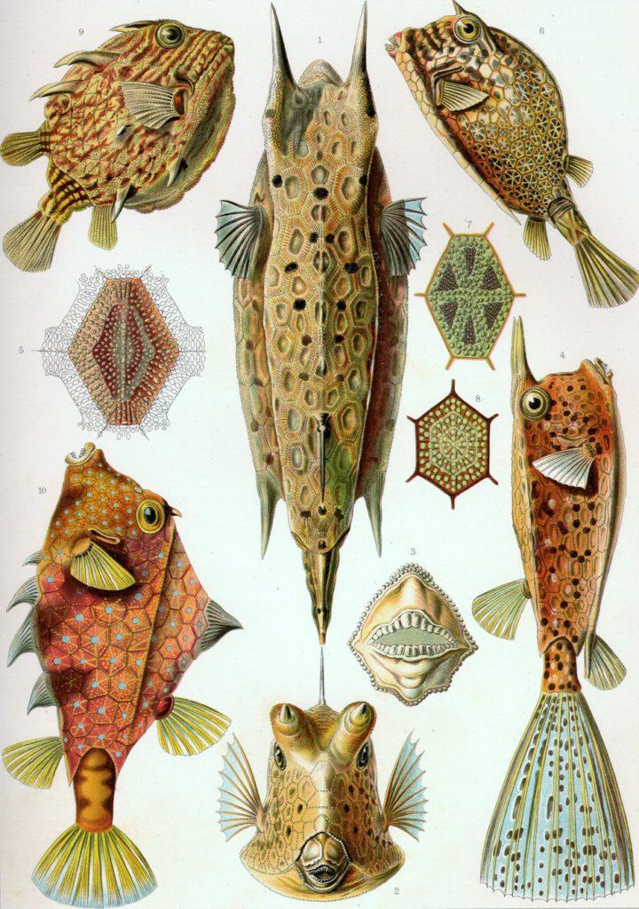 Haeckel-Kunstformen-der-Natur-Fische-Flossenheld-Aquaristik-Service
