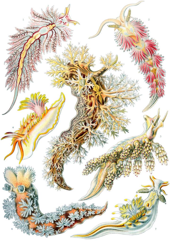 Haeckel-Kunstformen-der-Natur-Nudibranchia-Flossenheld-Aquaristik-Service